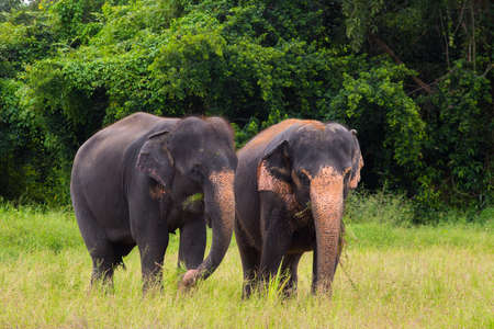 Two elephants standing and eating grass.