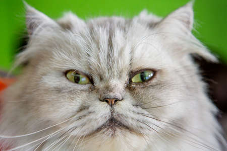 Close-up shot of the Persian cat looking
