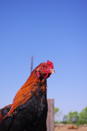 Pure Bred Black Breasted Red Cubalaya Rooster cockerel with gorgeuos drop tail. Stock Photo