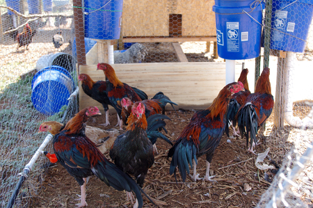 Group of Pure Bred Black Breasted Red Cubalaya Rooster cockerel with gorgeuos drop tail.