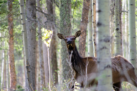 Wary Wild female cow elk hiding in the forest. Angel Fire New Mexico