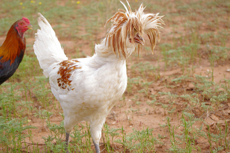 Crazy hairdo of a Polish crested chicken, Gallus gallus. Rooster.