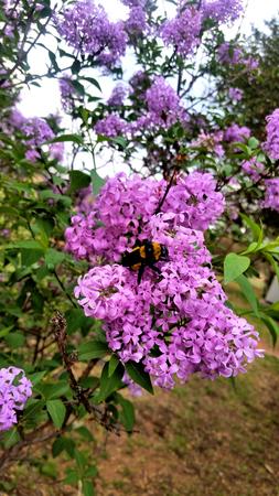 Fragrant lilac blossoms (Syringa vulgaris) in south Texas