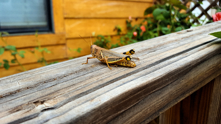 A Differential Grasshopper (melanoplus differentialis) on old wood railing Imagens