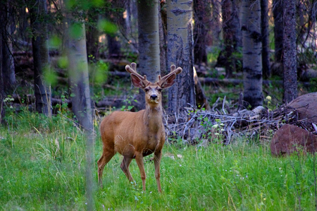 Large New Mexico buck mule deer standing in forst with antlers in full summer velvet Stock Photo