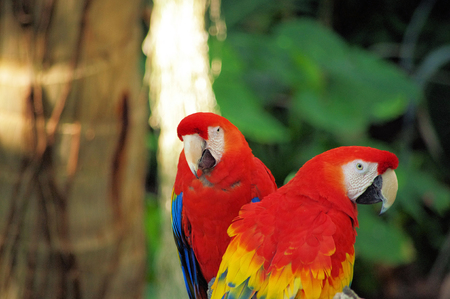 Portrait of colorful Scarlet Macaw parrot against jungle background 版權商用圖片