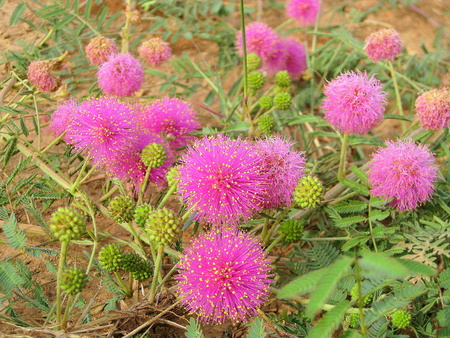 Macro: Mimosa nuttallii, the Nuttalls sensitive-brier, catclaw brier or sensitive brier. Sensitive plant. Subfamily Mimosoideae native. Texas Stock Photo