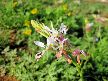Gaura lindheimeri, genus of flowering plants in the family Onagraceae, Lindheimer's beeblossom, white or pink gaura, Lindheimer's clockweed, and Indian feather