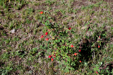 Wild Rosehip Plant in the Mountains of Colorado