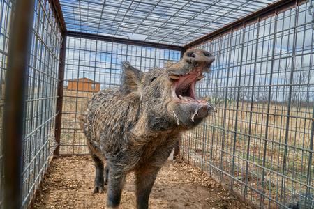 Huge Wild boars caught in a box trap