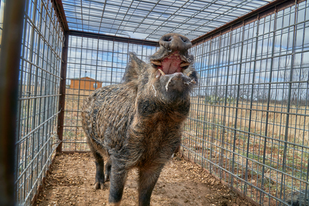 Huge Wild boars caught in a box trap