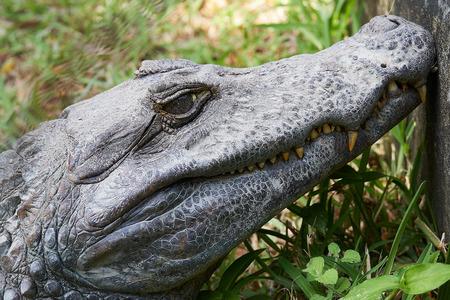 Close up of Head of a huge Black Caiman Alligator. Guyana