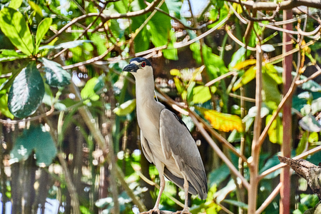 Black-crowned Night Heron (Nycticorax nycticorax) in Guyana 版權商用圖片
