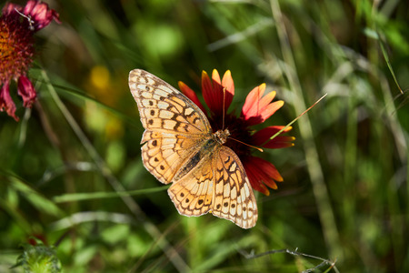 A variegated fritillary butterfly with its wings spread open, resting on a Indina Blanket Firewheel flower.
