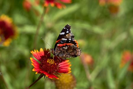 Red admiral butterfly (Vanessa atalanta) perched on a Fireweel Indina Blanket Gaillardia Flower Zdjęcie Seryjne