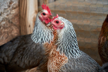 Two beautiful Golden Duckwing rooster hens. Macro shots of chicken profile.