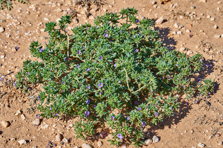 Sea heath, Frankenia pulverulenta L. Growing wild in West Central Texas Stockfoto