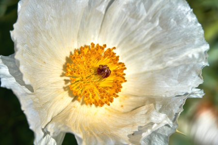 Isolated Macro of Beautiful White Prickly Poppy (Argemone albiflora) (Texas Bull Nettle). Close Up