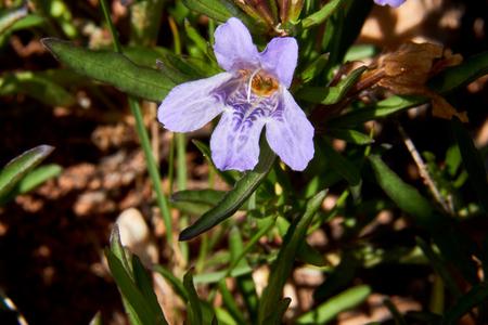 Macro Close up of Snake herb Narrowleaf dyschoriste (Dyschoriste linearis) Wildflower Texas