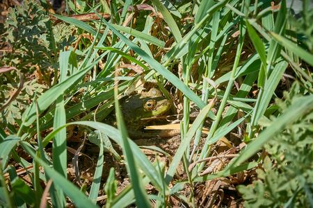 A frog of green color hiding in green grass Stock Photo