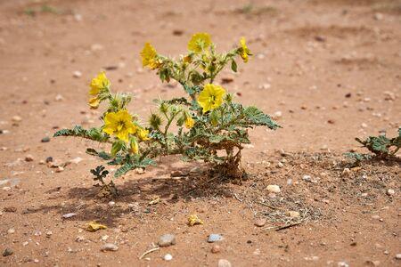 Close up of Solanum rostratum Dunal Plants in Texas desert. Buffalo Bur Nightshade, Breaked-Sandbur