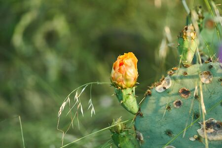 New Buds on Prickly Pear Cactus in the springtime in Texas Stock Photo