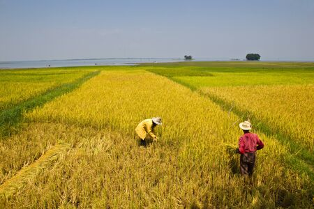 Two farmers harvesting rice by hand in Thailand  Stock Photo