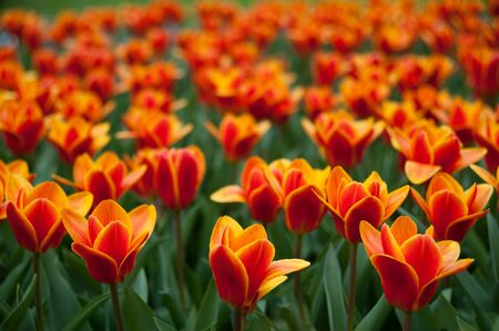 A red and yellow tulip surrounded by other tulips Stock Photo