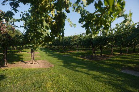Vineyards in Modena, Italy