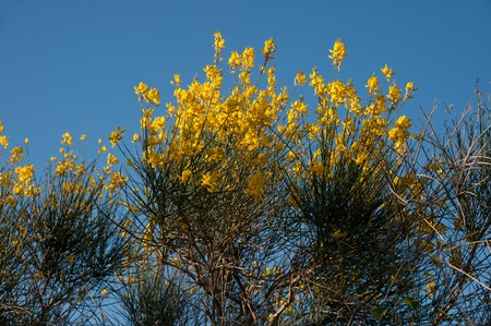 Genista Yellow Flowers Against Blue Sky Stock Photo