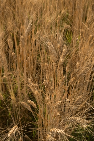 A field of summer wheat in Italy