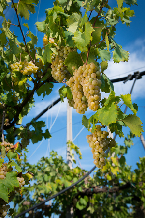 Grapes on the vine in a sunny vineyard Stock Photo