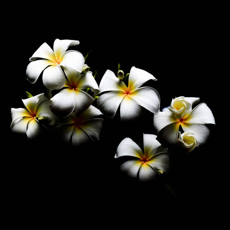 Yellow and white flower, Frangipani or Plumeria, in a dark background photo