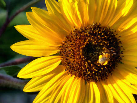 A photo art illustration of a sunflower blossom with a bee