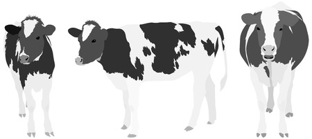domestic cattle: Set of three realistic cow illustrations rendered in grey tones