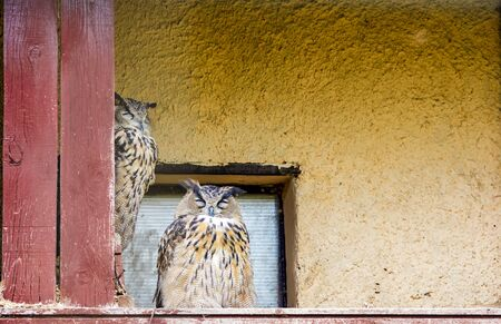 Two forest owls hide from the light in the attic of a house