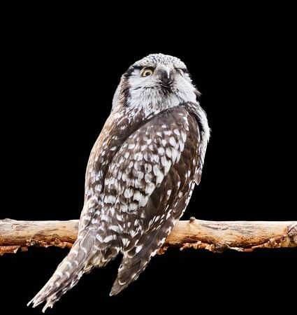 Northern Hawk Owl sits on a branch. Isolated on black background