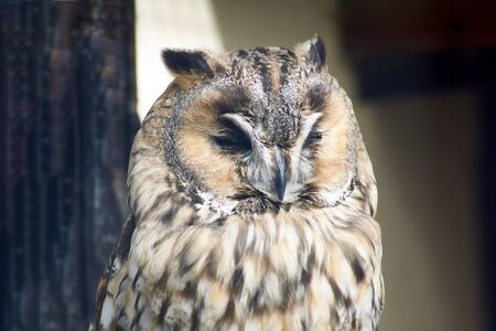 Forest owl squinting from the light. Close-up