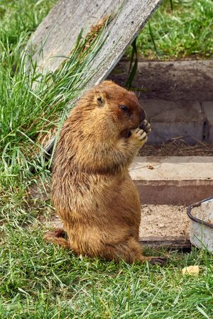 Ginger Bobak marmot stands on its hind legs. Close-up Stock Photo