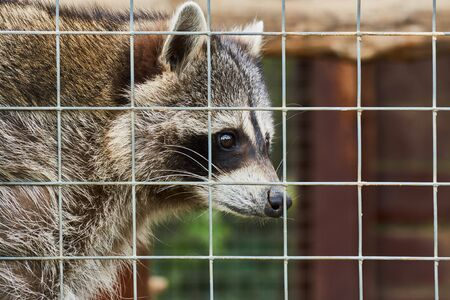 Wild raccoon sits behind bars at zoo