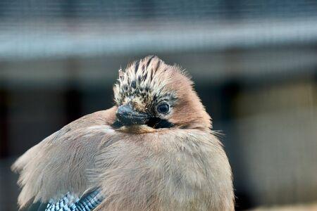 A Jay bird with a soft background. Garrulus glandarius. Close-up