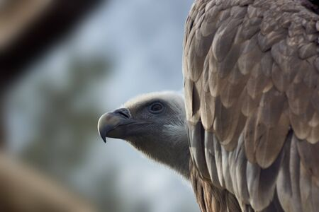 Wild birds. Vulture sits and looks into the distance. Close-up