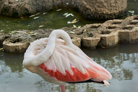 Pink flamingo stands in the water and laid his head under the wing Stockfoto