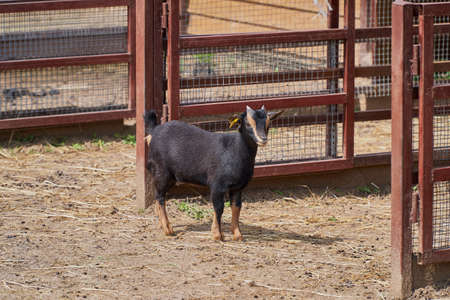 Nigerian pygmy goat. Black and tan. A goat stands in a barnyard next to a fence.
