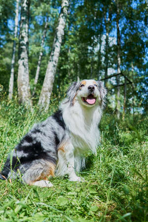 Australian Shepherd with rare eye heterochromia. One eye is light blue the other eye is brown. The dog is sitting on the green grass. Stockfoto