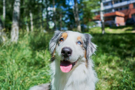 Australian Shepherd with rare eye heterochromia. One eye is light blue the other eye is brown. The dog is sitting on the green grass and see to the camera