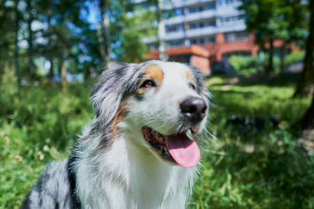Australian Shepherd with rare eye heterochromia. One eye is light blue the other eye is brown. The dog is sitting on the green grass. Archivio Fotografico