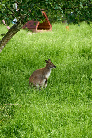 Little kangaroo sits on green grass and looks