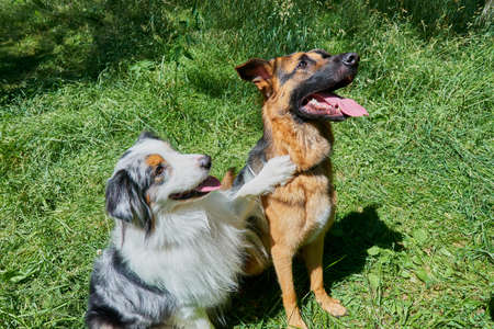 Australian Shepherd and German Shepherd sit on green grass. Australian Shepherd put his paw on a German Shepherd Stockfoto