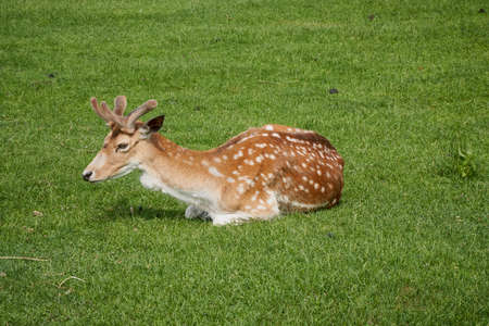 Sika deer, Cervus nippon also known as the spotted deer or the Japanese deer. Ruminant mammal is lay on field